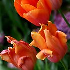 Tulips by LisaM