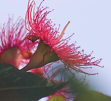Red Flowering Gum by Melva Vivian