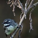 Grey Fantail by Barrie Collins