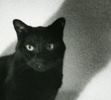 Portrait of black cat on sofa film noir chiaro scuro black and white square silver gelatin film analog photo Sticker