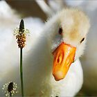 Little white duck by Joe Cashin