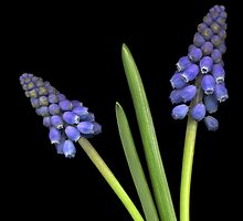 Grape Hyacinth by TheWalkerTouch