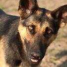 Farmyard Alsatian Dog by RedSteve