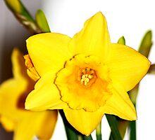 A daffodil for my Dad by wendywoo1972