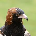 Black Breasted Buzzard by Michael Fotheringham Portraits