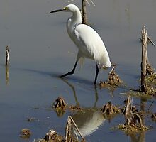 Snowy Egret by Michael Wolf