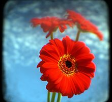 red gerberas 2 by Phoenix-Appeal
