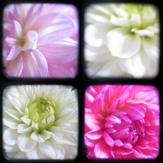 Dahlias Through The Viewfinder (TTV) by Kitsmumma