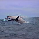 Humpback Whale Breaching Near Puerto Lopez, Ecuador IV by Al Bourassa