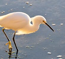 Snowy Egret by Jeff Ore