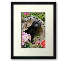 Lab puppy playing hide and seek Framed Print