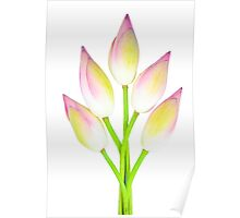 Lotus buds on white background Poster