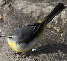 Gray Wagtail. by kenmay