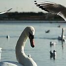 Swan & Gulls  by Martina Fagan