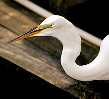 Great Egret by Jeff Ore
