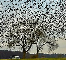 A sky of squarking starlings by samandoliver