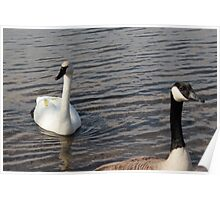 Trumpeter Swan and Canadian Goose Poster