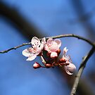 Blossom of a chinese cherry tree by gregorydean