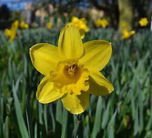 Spring daffodil by nnnagy