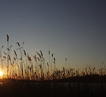 Squibnocket Reeds by Allison  Colarusso