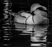 Snoozing smew by Mortimer123