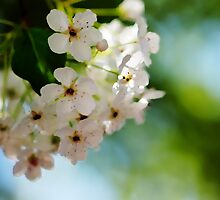 Apple Blossoms by Modified