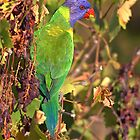 Rainbow Lorikeet by Bill  Robinson