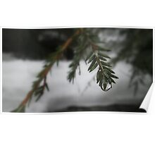 Water Droplets on Pine Poster