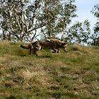 Coyote Pounce by DARRIN ALDRIDGE
