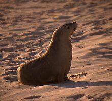 Australian Sea Lion at sunset by Erik Schlogl