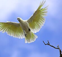 Sulphur Crested Cockatoo by Bill  Robinson