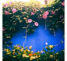creepy vine on blue feature wall Photographic Print