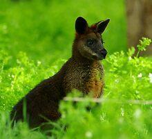Swamp Wallaby by Biggzie