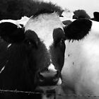 Cow are you ? by Ian Reeley