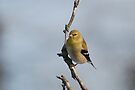 A Goldfinch by Lynda  McDonald