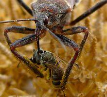Assassin bug, Red Rocks, Colorado, US by Sherry Lynn Crawford
