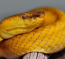 Phillipine Palm Viper by Dennis Stewart
