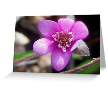 First Hepatica of the season  Greeting Card