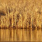Golden Grass Reflections by lorilee