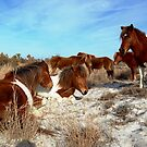 WILD PONIES OF ASSATEAGUE ISLAND by Sandy (O'Toole) Fazenbaker