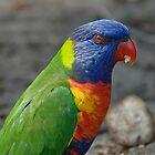 Rainbow Lorikeet, opportunist by Trevor Needham