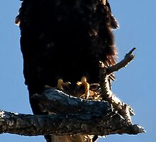 Skagit Valley Eagle 5 by David Chappell