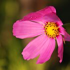 Cosmos by AjayP