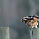 Red Tailed Hawk:  Moment Before Take Off by David Friederich