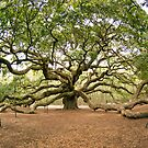 The Angel Oak  - Johns Island,  South Carolina, USA by Kent Burton