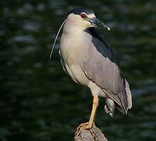 Black Crowned Night Heron by John Absher