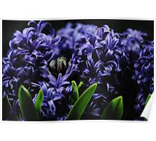 Purple Hyacinth group Poster