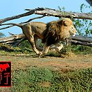 African Lion Running Small by Keith Richardson