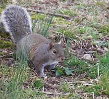 Tennessee Gray Squirrel by Nick Kirby