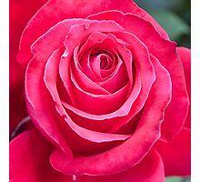 Deep Pink Rose Flower Bloom Photographic Print
